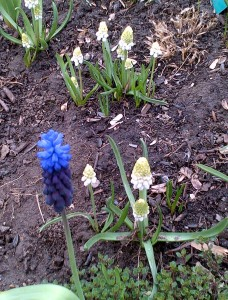 Muscari latifolium (two shades of blue) and white muscari