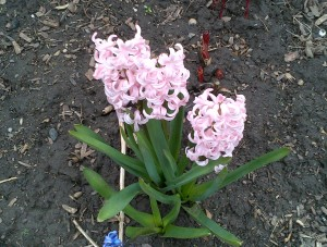 Hyacinths with peony tips peaking up in the background