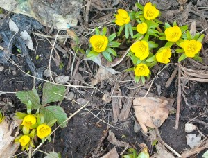 Aconite, the first signs of spring